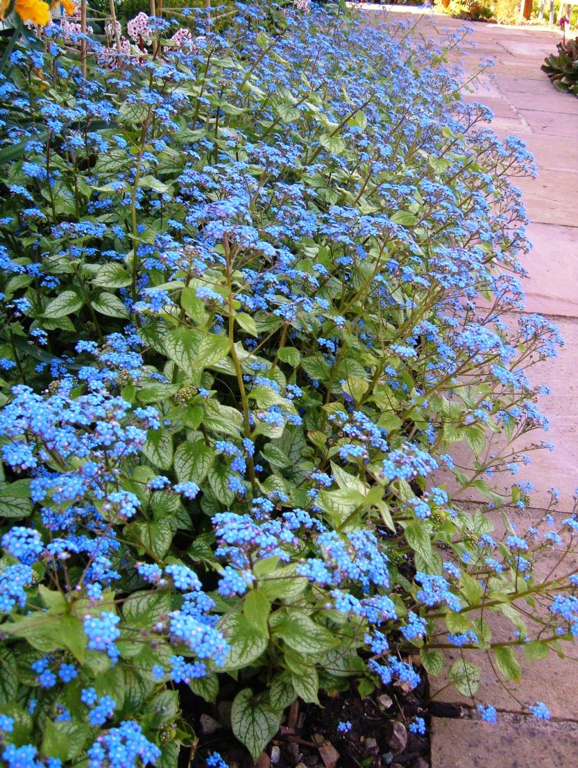 Brunnera 'Jack Frost' in full bloom, before transforming itself into a mass of large, silvery leaves - gorgeous