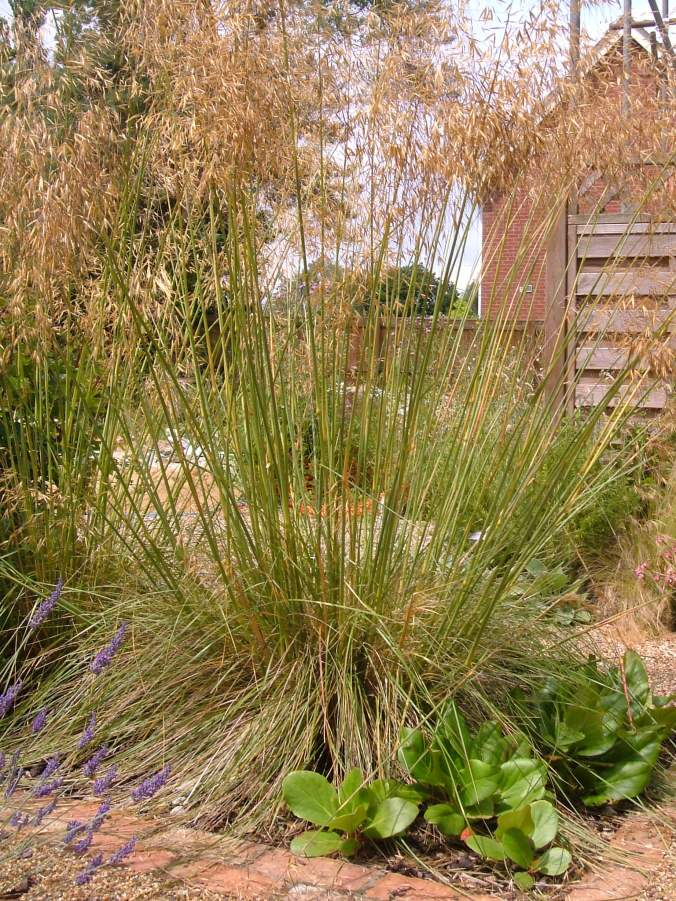 Stipa Gigantea (giant oat grass)