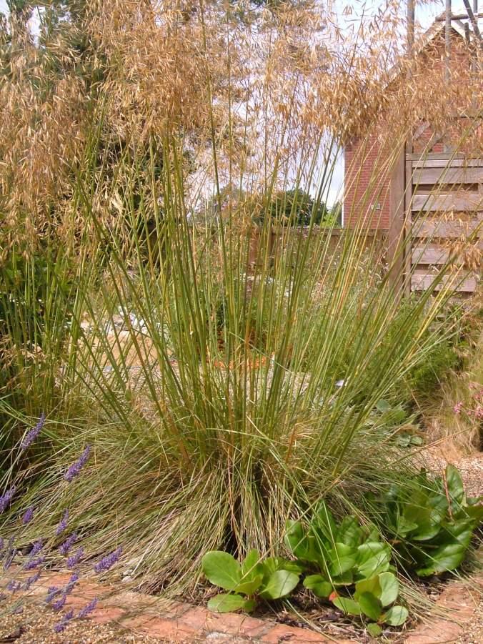 Stipa Gigantea (giant oat grass)