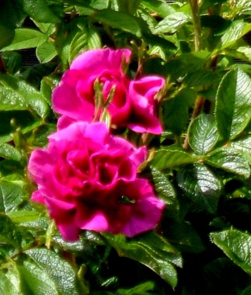 Roseraie de l'Haye