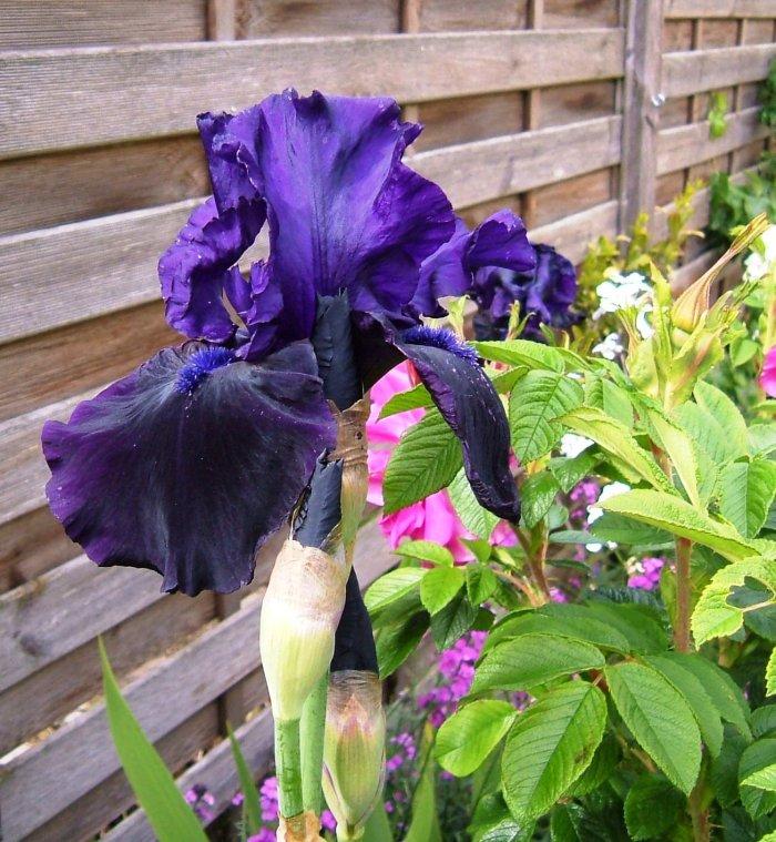 Iris Germanica 'Anvil of Darkness'