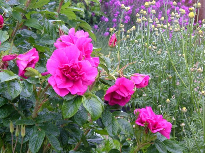 Roseraie de l'Hay, Anthemis, Erysimum 'E A Bowles'