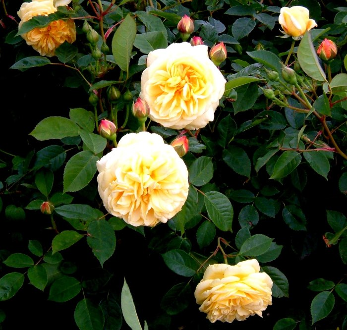 Rosa 'Teasing Georgia' a David Austin rose