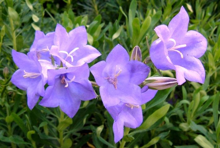 Campanula persicifolia 'Blue Bells'