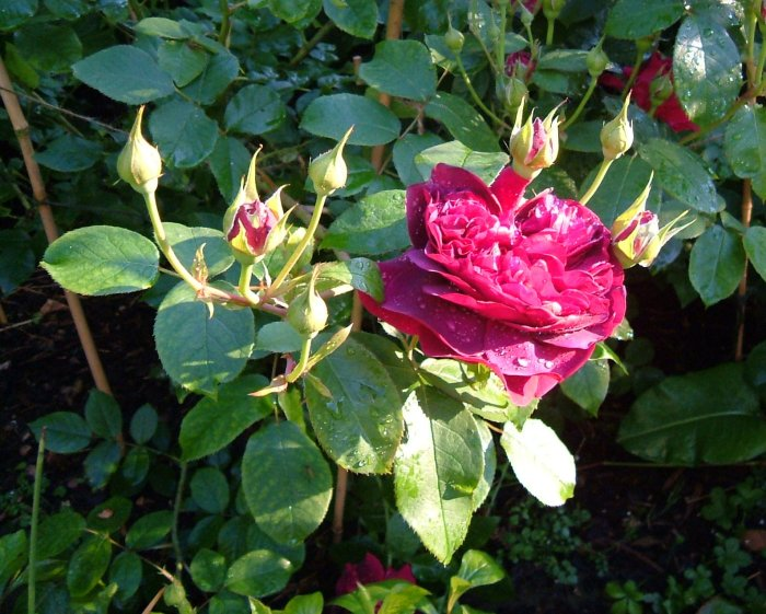Rosa 'William Shakespeare'