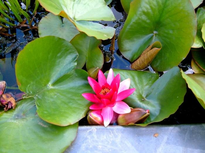 Waterlilies in the Exotic Garden