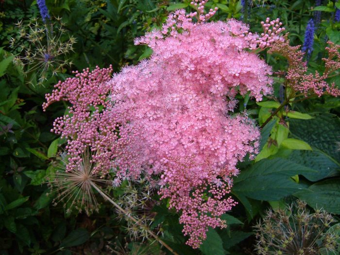 Astilbe ? with Allium seed heads