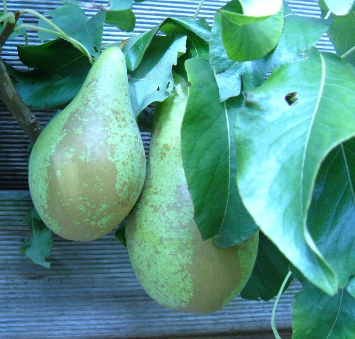 First-ever Conference Pears, ripening