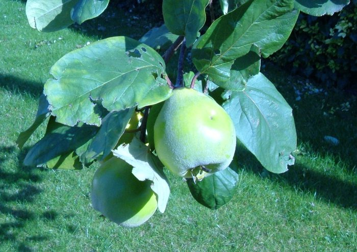 Meeches Prolific Quince, first fruits ripening