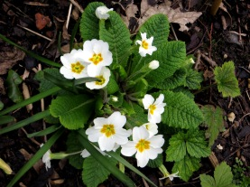 Primula Vulgaris 'Snow Cushion'
