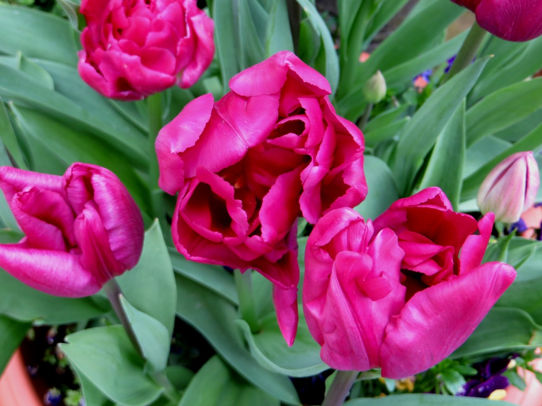 Tulip 'Royal Acres'