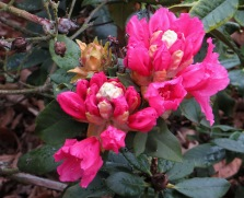 Rhododendrons in Greenwich Park, London