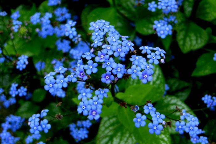 Brunnera 'Jack Frost' in flower