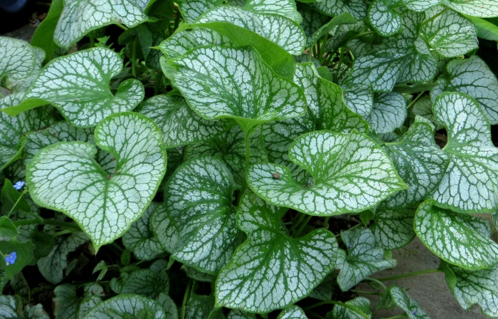 Brunnera 'Jack Frost' with new leaves