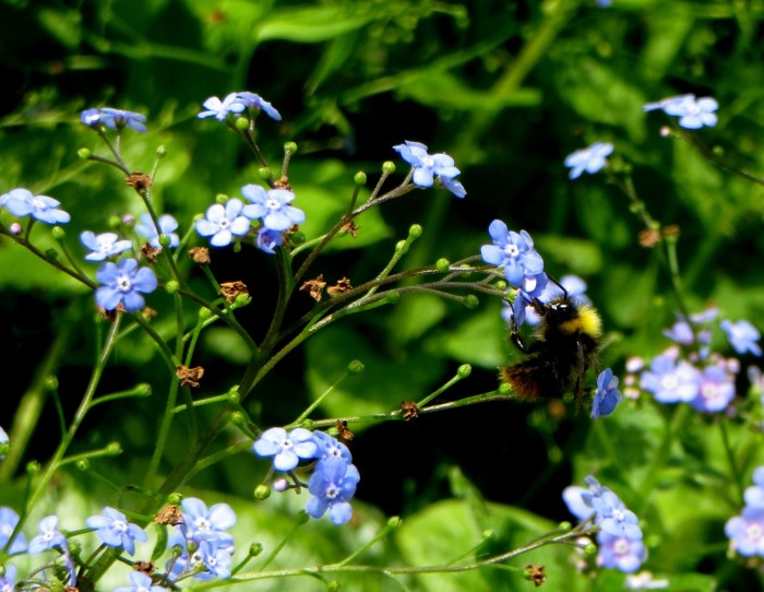Bee in the Brunnera flowers