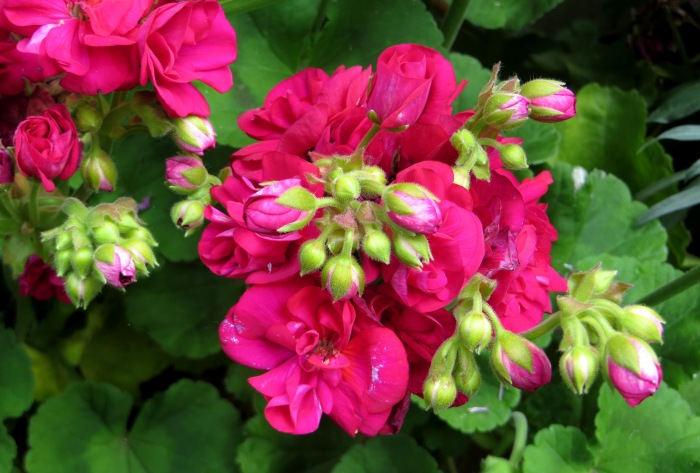 Unknown geranium