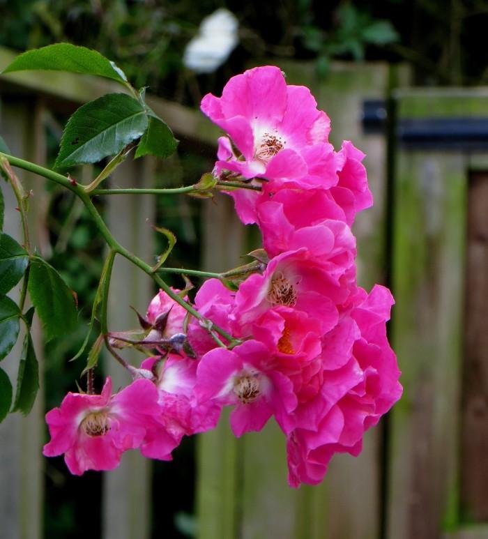 Rose in Cratfield