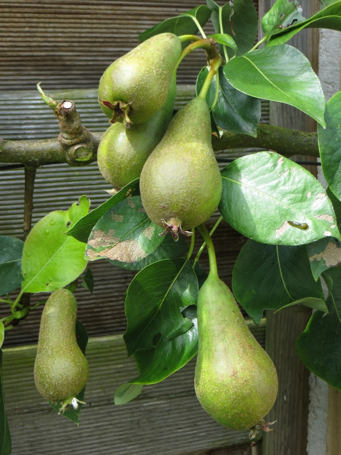 Conference Pears & pear slug