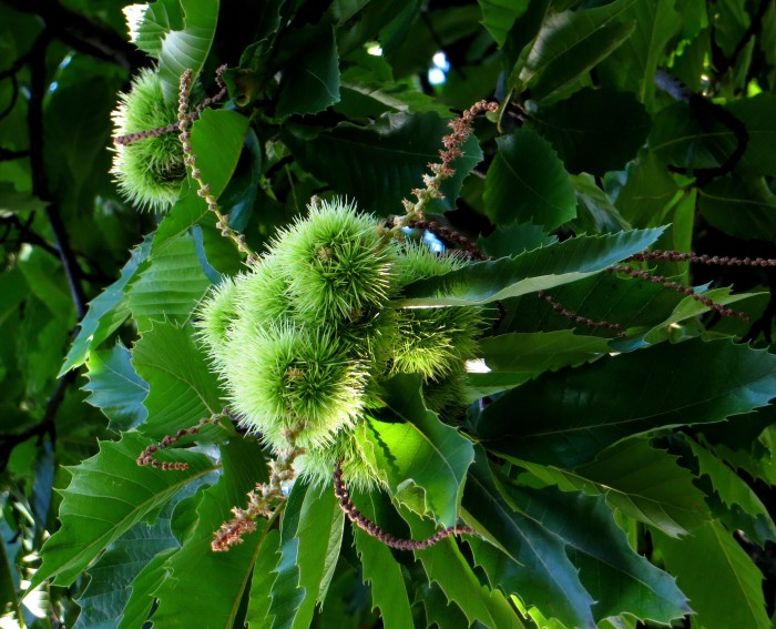 Chestnuts in Greenwich Park