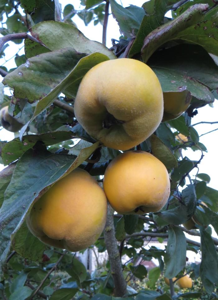 Ripening quinces
