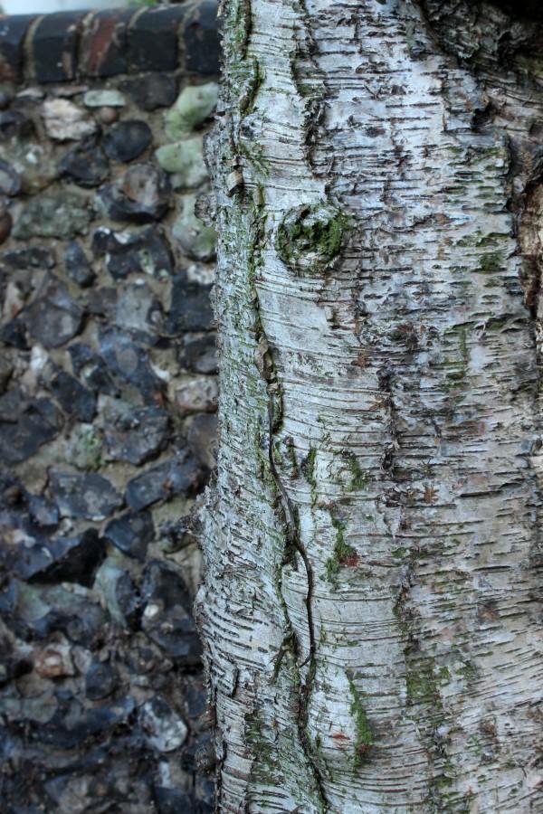 Birch tree and flint wall