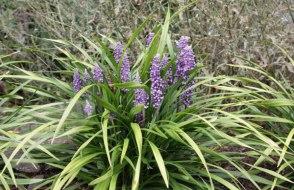 Liriope Muscari (www.crocus.co.uk)