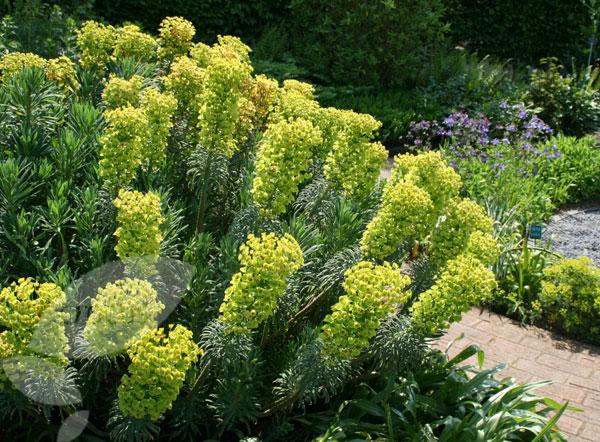 Euphorbia Chariacas 'Wulfenii' (crocus.co.uk)