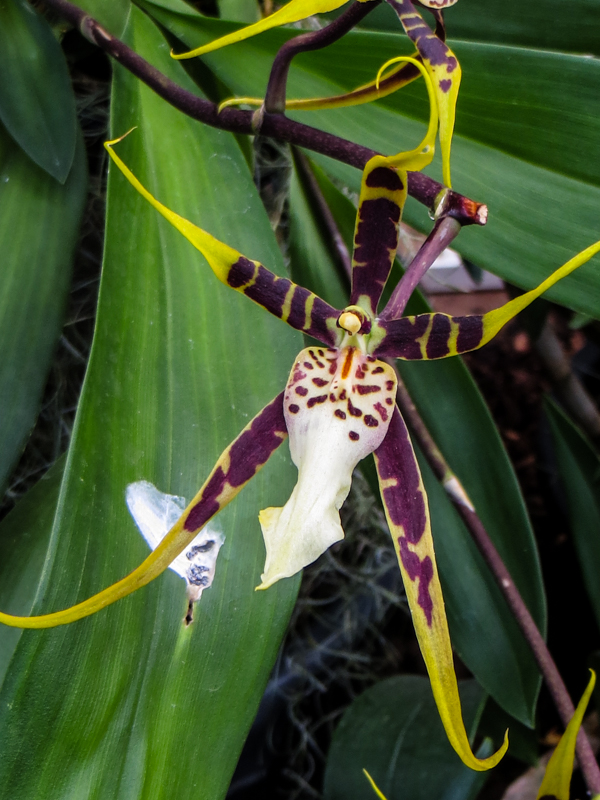 Orchids at Wisley