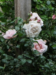 Unknown climbing rose