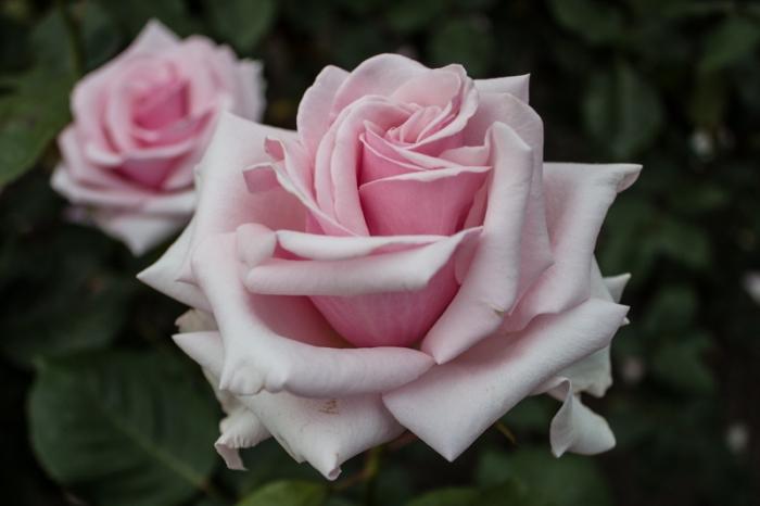 Michele Meilland rose