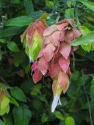 Shrimp Plant - Justicia Brandegeeana