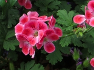 Geraniums in Avery Hill Winter Garden