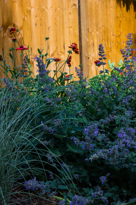 Miscanthus Sinensis 'Morning Light', Nepeta, & Gaillardia