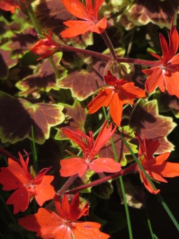 Pelargonium 'Vancourver Centennial'