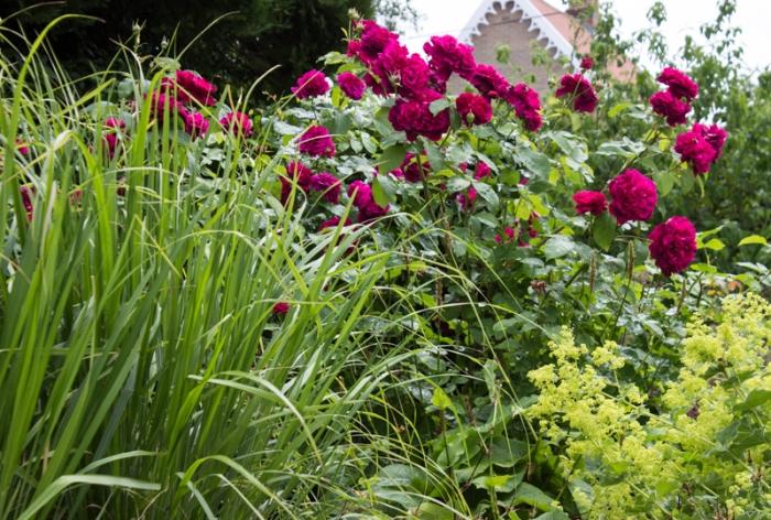 William Shakespeare Rose, Calamagrostis Brachytricha, Alchemilla Mollis