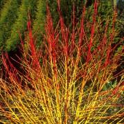 Cornus 'Midwinter Fire' (www.wyevalegardencentres.co.uk)