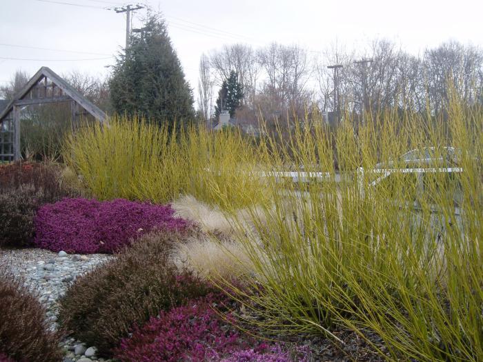 Cornus 'Flaviramea', erica, low grasses (www.depts.washington.edu)