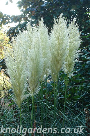 Cortaderia (www.knollgardens.co.uk)