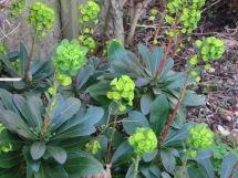 Euphorbia Amgdaloides