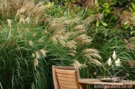 Miscanthus Herman Mussell (www.knollgardens.co.uk)