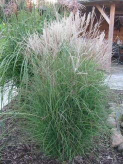 miscanthus sinensis kleine silberspinne (www.green24-de)