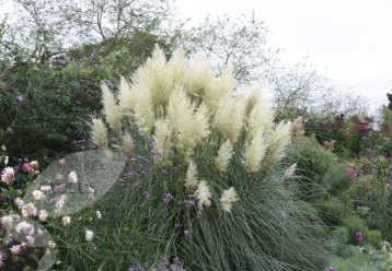Pampas grass (www.crocus.co.uk)