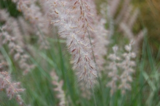 Pennisetum orientale Flower (18/07/2015, Kew gardens, London)