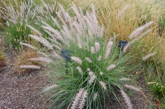 Pennisetum orientale (18/07/2015, Kew gardens, London)