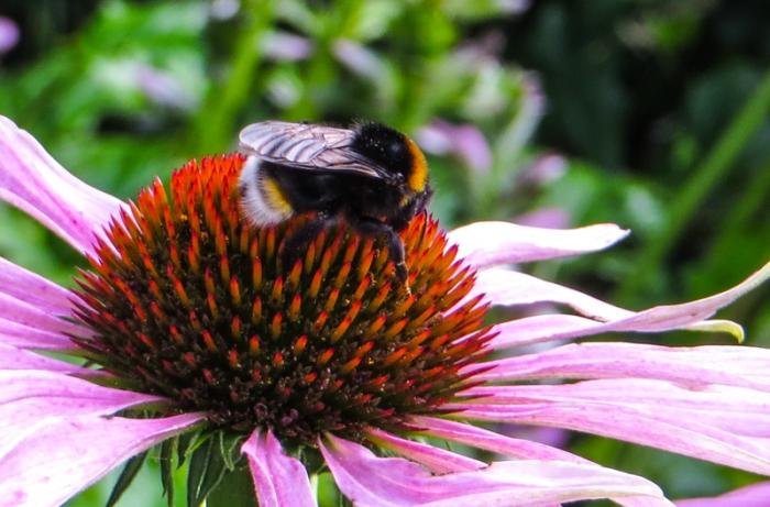 Bumblebee on the echinacea