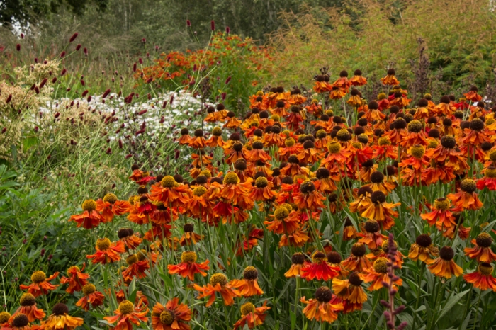 Heleniums & Sanguisorba