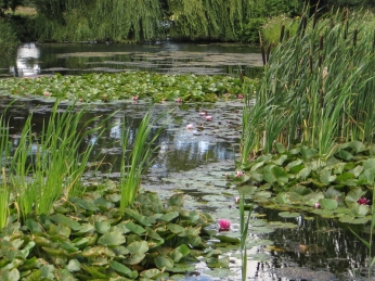 The water lily lake, Pensthorpe