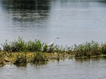 Large white egret, Pensthorpe