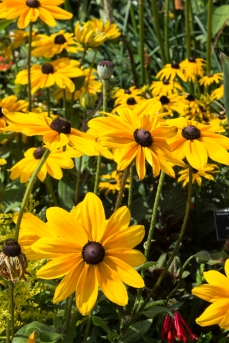 Rudbeckia at Hyde Hall