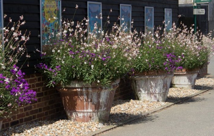 Gaura Lindheimerei in large tubs at Hyde Hall